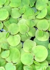 10 Red root floater Phyllanthus fluitans contains no duckweed! Floating plant