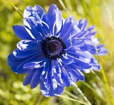 ANEMONE ST BRIGID LORD LIEUTENANT 15 BULBS SPRING & SUMMER FLOWERING FREE P&P