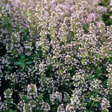 Herb Seeds - Thyme English Winter - 2000 Seeds