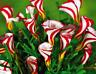 RARE ! Oxalis versicolor flowers seeds - 100 pcs