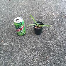 New listing Vanda seedling orchid plant sale! 3 plant vanda seedling sale!