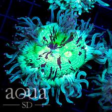 New listing Asd - 096 Dancing Mermaid Elegance Coral - Wysiwyg - Aqua Sd Live Coral Frag