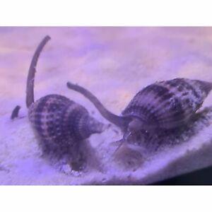 Nassarius Snails x 5 Marine Clean Up Crew