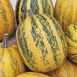 Pumpkin  Lady Godiva    100 seeds