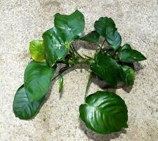 Anubias barteri var. barteri - Hardy Aquatic Plant