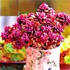 Fd2222 Rare Succulents Seeds Mini Potted Flower Organic Seeds ~1 Bag 50 Seeds~
