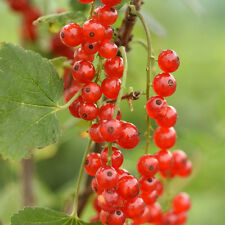 3 x Redcurrant Redstart Plants 9cm pot British Grown and delivered free!