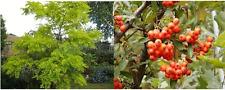 50 x Mixed tree seeds. 25 x False Acacia & 25 x Firethorn tree seeds.