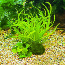 3-4cm Aquarium Plant Fish Aquarium Decor Giant Marimo Moss Ball Cladophora Live