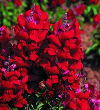 Antirrhinum majus maximum Ruby 30 seeds