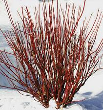 Dogwood Red Twig 10 Unrooted Cuttings Cornus Stolonifera White Flower Hardy
