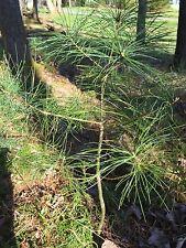 "12""-24"" tall Eastern White Pine Seedlings / Transplants; lot of 10 ea; Bare Root"