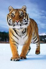 TIM FLACH 24x36 poster TIGER NATURE ENDANGERED PHOTOGRAPHY NEW MICROSOFT SNOW!!