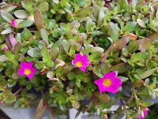 Portulaca grandiflora Hot Pink 4 inch pot