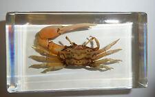 Reddish Fiddler Crab Uca arcuata in Clear Paperweight Education Specimen