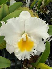 Cattleya Nancy Off 'Linnwood' X Rlc Chincogan Bloom Size 4� Pot (15) Sho75