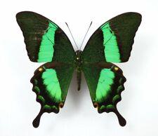 Papilio daedalus ssp. daedalus Männchen