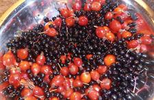 Kombucha Medicinal Berry Blend Herbal Tea, 4 oz/113g - Make Herbal Kombucha Tea