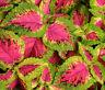 COLEUS VERSA WATERMELON Solenostemon Scutellarioides - 40 Bulk Seeds