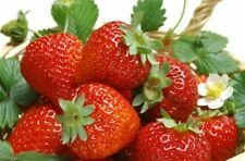 Strawberry Seeds #SF -71# Very Sweet and Deep Red colour fruit- 10+ Seeds