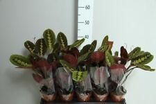 Maranta Fascinator Tricolour plant 12cm pot aprox. 30 cm height