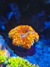 """Marine Stunning scoly A grade mad bright button  1"""" LPS / SPS SOFT Coral"""