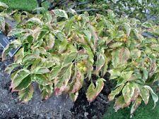 15 CHEROKEE BRAVE DOGWOOD SEEDS - Cornus florida ( variegated leaves )