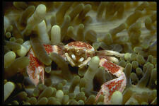 634040 A Tiny Porcelain Crab Is Host To An Anemone A4 Photo Print