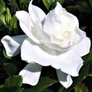 1 gardenia live plant Augusta beauty 6 inches