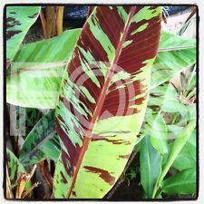 """15 x Fresh Banana Seeds. Musa """"Acuminata Zebrina"""" Rojo sumatrana - Blood banana"""