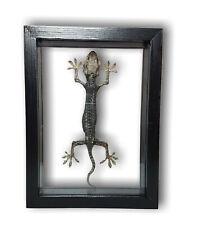 Gekko gecko Tokeh-Tokee Gekkonidae Schaukasten beidseitig UV-Glas SCHWARZ LASUR