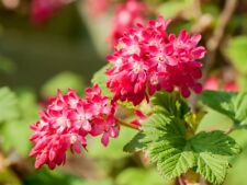 """1 - Red Flowering Currant Plants - (Ribes sanguineum) - 10""""- 15"""" Potted Plants"""