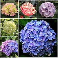 100X samen / pack Mix Farbe Schöne Hortensien Blumensamen hausgarten Dekor