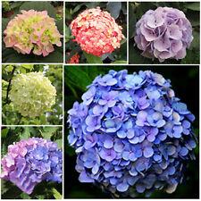 100X seeds  pack Mix Color Beautiful Hydrangea Flower Seeds Home garden Decor^