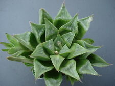 Succulent Haworthia mirablis v. paradoxa