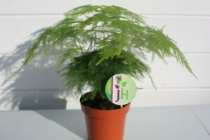 12cm Pot Asparagus Plumosus Indoor Plant  1 x Live Potted Fern Houseplant