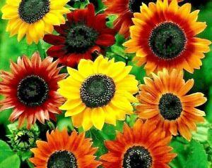 "20 seeds Sunflower dwarf Distinto mixture +4""FREE REUSABLE PLANT LABEL"
