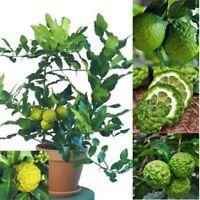 30pcs Rare Kaffir Lime Seeds Tree Garden Plants Lemon Bonsai Pot Perennial Seed