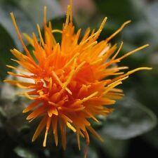 100 SAFFLOWER Saffron Carthamus Tinctorius Yellow Orange Flower Sees F-031x2
