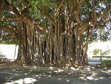 Higuera de Bengala - FICUS BENGHALENSIS - 15 Semillas - Jardín Árbol Garden Tree