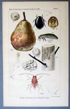 Original Antique 1893 Entomology Chromolithograph Print SAN JOSE & PEACH SCALE