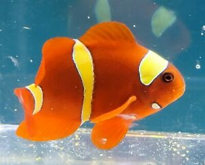 """3""""Live Extreme Gold Bard Maroon Clownfish Designers T R. Actual pics Only 1 AVAL"""