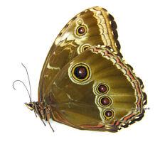 Unmounted Butterfly/Morphidae - Morpho helenor montezuma, FEMALE, Mexico, A1/A-