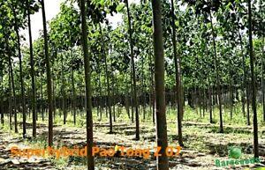 EXTRA CLEAN Paulownia Pao Tong Z07 Samen, Kiri Baum, Blauglockenbaum, bis -33°C