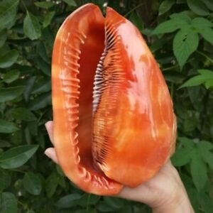 Famous Red Snails Shell 11/13/15cm Natural Conch Collection Home Decor Ornaments