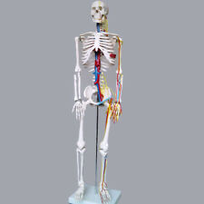 High Quality Human Skeleton with Nerves & Blood Vessels - Anatomy Model