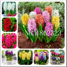 Bonsai Hyacinth 100 Pcs Seeds Perennial Potted Flowers Indoor Garden Plants New