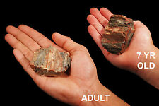 "Petrified Wood 2 1/2"" 6-8 Oz Rock Mineral Specimen Root Chakra Healing Stone"