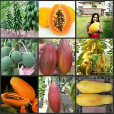 20 Seeds Combo Papaya 4 Varieties 5 Seeds Each Round,Dwarf,Golden,Red Good Seed