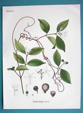 RUBBER TREE LIANA Landolphia Watsoniana - Beautiful COLOR Botanical Print